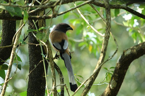 Kerala, India, Rufous Treepie, Bird, Endemic, Wildlife
