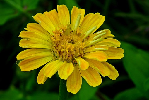 Zinnia, Flower, Yellow, Garden, Nature, Macro, Closeup