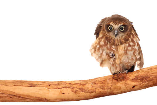 Boobook, Owl, Acumen, Arboreal, Bird Of Prey, Cognition