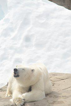 Polar Bear, Bear, Animal, Natural, White, Arctic Ocean