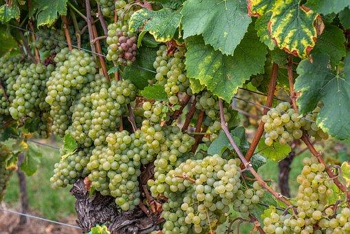 Wine, Grapes, Vine, Autumn, Palatinate, Ripe, Fruit