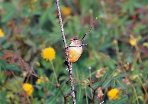Red Munia Female, Avadavat, Wild, Bird, Wildlife