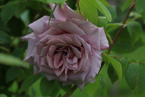 Rose, Spring, Nature, Plant, Beautiful, Color, Flower
