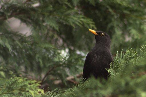 Thrush, Blackbirds, Feather, Beak, Bird, Birds, Shrub
