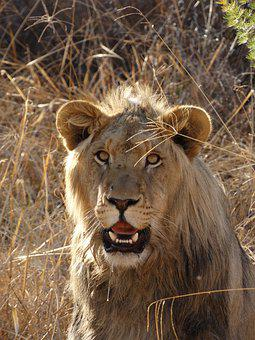 Lion's Whelp, Lion, Big Cat, Cat, Wild, Animal World