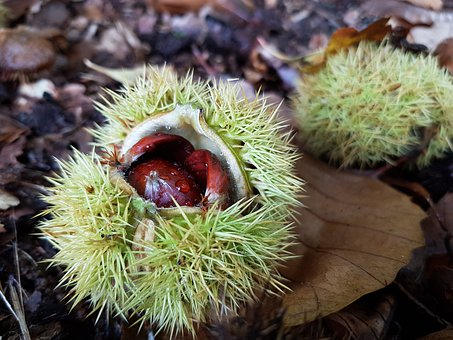 Chestnut, Collect, Autumn, Autumn Fruit, Shell, Prickly