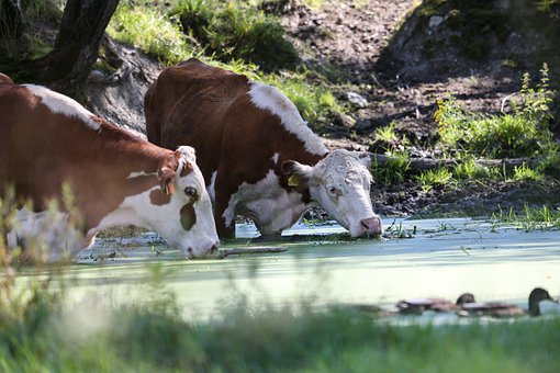 Cows, Water, Head, Landscape, Nature, Cattle
