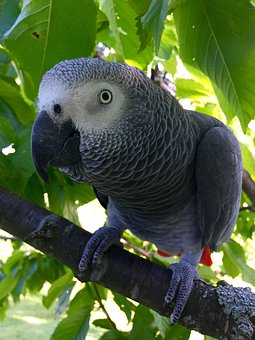 Parrot, African Grey, Animal, Pet, Feather, Exotic