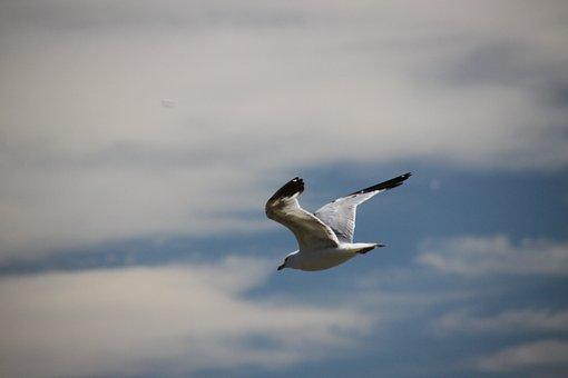 Seagull, Bird, Soaring, Nature, Sea, Flight, Animal