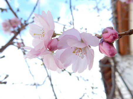 Spring, Pink, Flower, Cherry, Blossoms