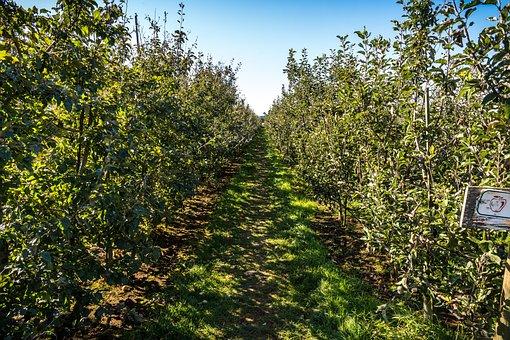 Apple, Orchard, Harvest, Fruit, Fall, Autumn, Nature