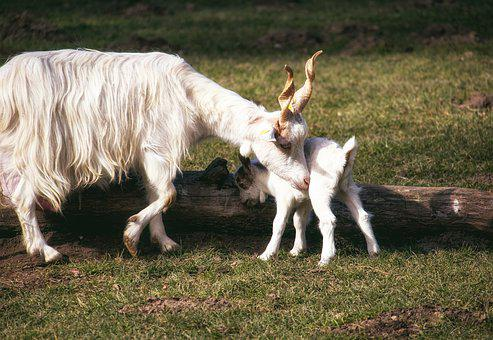 Screw A Goat, Mammal, Animal, Animal World, Goat