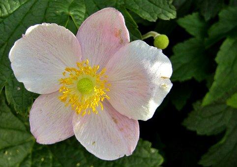 Herbstannemone, Annemonen, Pink, Petals, Stamens
