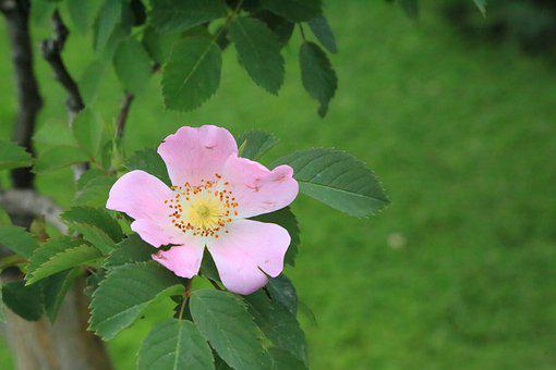 Rosehip, Flower, Nature, Plant, Tree, Leaves, Color