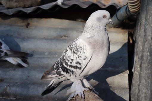 Pigeons, Pigeon, Long Johns, Bird, Animal, Nature