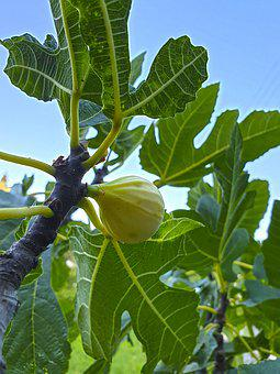 Figs, Nature, Food, Plant, Leaf, Fresh, Branch, Organic