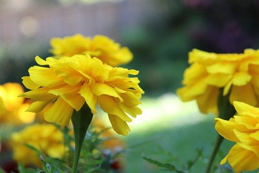 Marigold, Garden, Gardening, Bloom, Flowers, Orange