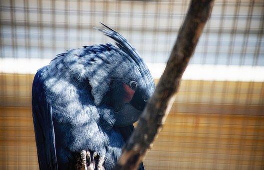 Palm Cockatoo, Parrot, Macaw Cockatoo, Cockatoo, Bird