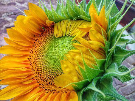 Sunflower, Flower, Yellow, Summer, Plant, Colorful