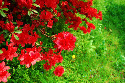 Flowers, Spring Flowers, Red, Spring, Nature, Plants