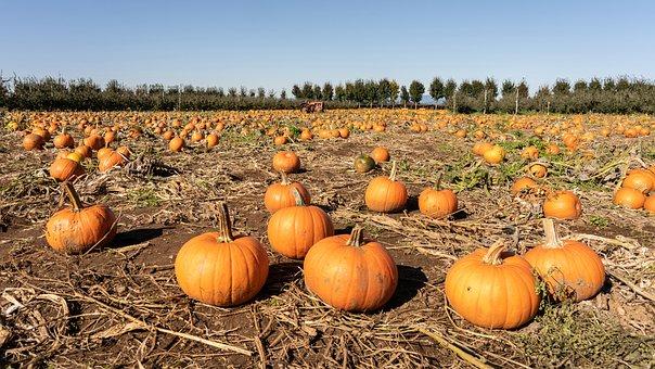 Pumpkin, Field, Patch, Autumn, Halloween, Thanksgiving