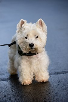 Terrier, West Highland Terrier, White Terrier, Dog