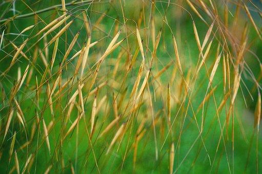Grass Seed, Grasses, Wild Meadow, Plant, Garden