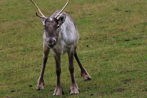 Reindeer, Wild, Funny, Fur, Cute, Nature, Sweet