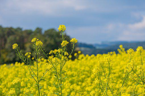 Oilseed Rape, Yellow, Nature, Field, Field Of Rapeseeds
