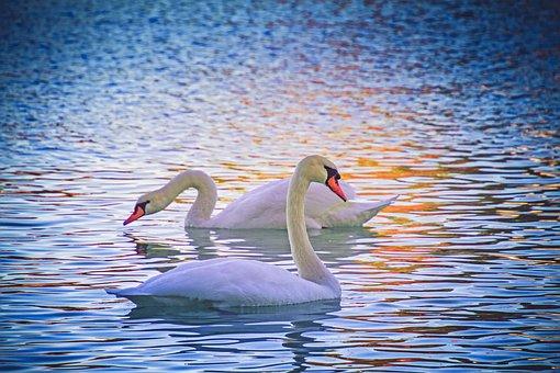 Swan, Animal, Water Bird, White, Animal World, Pride