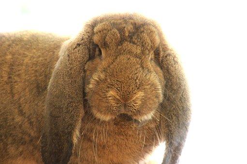 Rabbit, Animal, Wild Rabbit, Aries French, Race