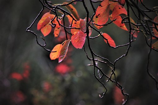Red, Twigs, Red Leaves, Autumn, Collapse, Leaves, Leaf