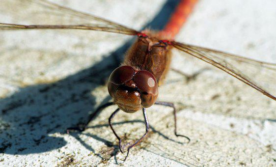 Nature, Dragonfly, Macro, Insects, Insect, Beauty