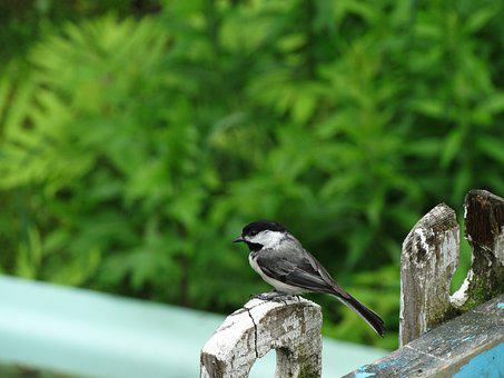 Black-capped Chickadee, Fence, Bird, Nature, Green