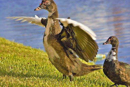 Duck, Muscovy Duck, Wings Spread, Baby, Bird, Mother