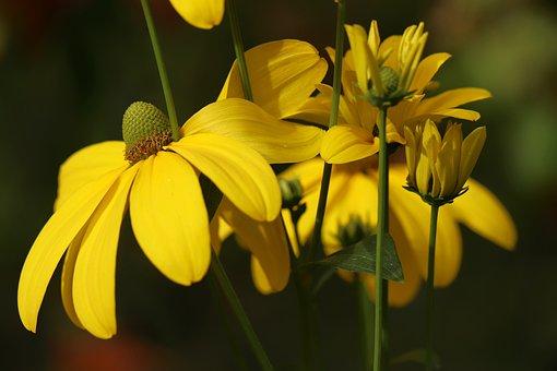 Coneflower, Black Eyed, Blossom, Bloom, Bud