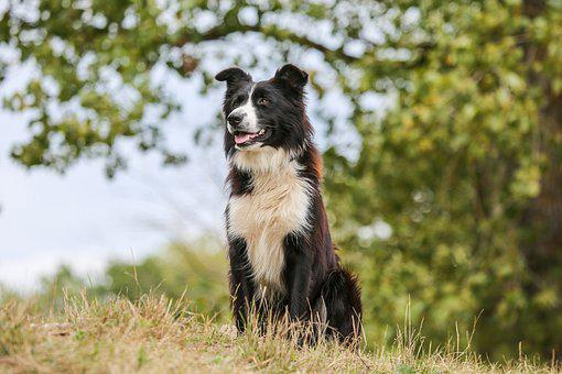 Dog, Shepherd Dog, Collie, Border, Herding Dog