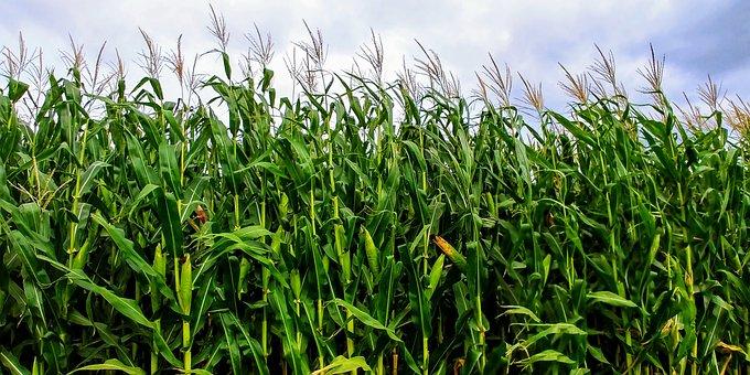 Corn, Field, Green, Sky, Agriculture, Farm, Harvest