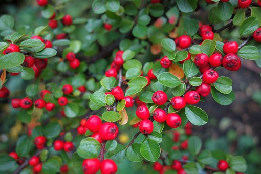 Autumn, Cotoneaster, Berries, Red, Plant