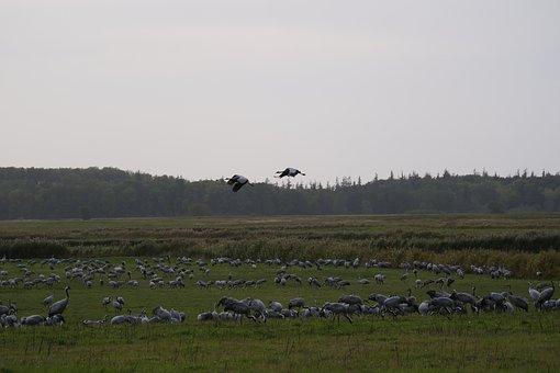 Cranes, Migratory Birds, Animal, Collection