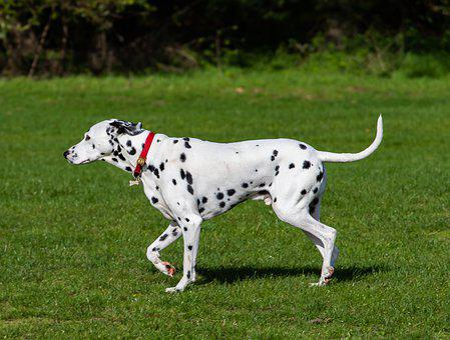 Dalmatian Dog, Dalmatian, Dog, Dog In Park, Animal, Pet