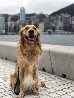 Hong Kong, Dog, Retriever, Skyline, City