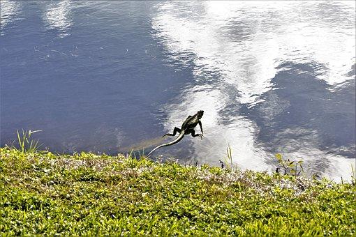 Iguana, Jumping Into River, Mid-air, Lizard, Dragon