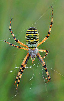 Wasp Spider, Arachnophobia, Eight Legs, Arachnid, Web