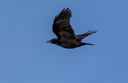 Crow, Flying Crow, Black Bird, Flying, Black, Feather