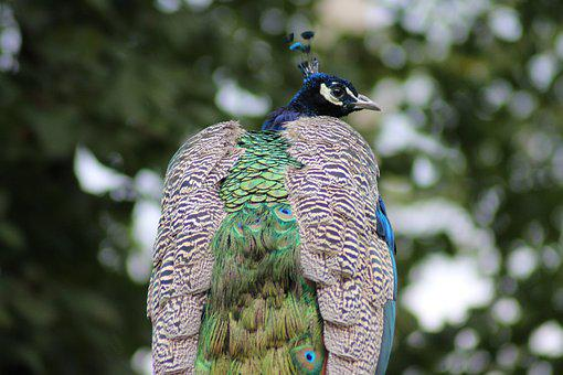 Peacock, Farbenpracht, Plumage, Color, Feather