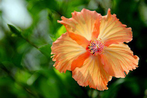 Flowers, Hibiscus Flowers, The Garden, Plant