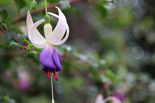 Fuchsias, Flowers, Purple And White, Plants, Nature