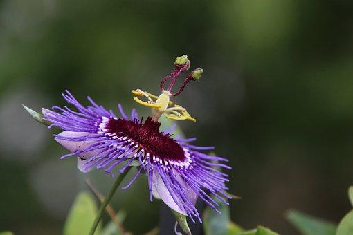 Passion Flower, Flowers, Plants, Garden, Gardening