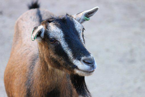 Goat, Domestic Goat, Goat's Head, Portrait, Livestock